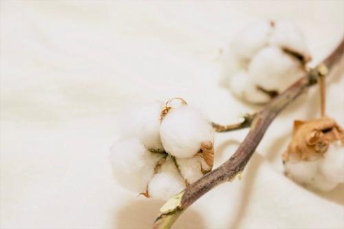 オーガニックの綿
